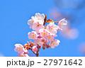 花 寒桜 青空の写真 27971642