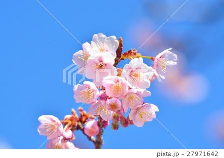青空に咲く寒桜 27971642