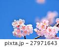 花 寒桜 青空の写真 27971643