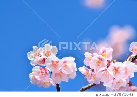 青空に咲く寒桜 27971643