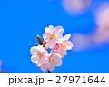 花 寒桜 青空の写真 27971644