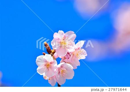 青空に咲く寒桜 27971644