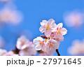 花 寒桜 青空の写真 27971645