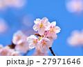 花 寒桜 青空の写真 27971646