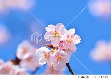 青空に咲く寒桜 27971646