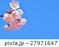 花 寒桜 青空の写真 27971647