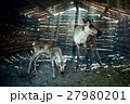 Reindeers in cattle-shed. 27980201