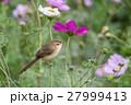 花と鳥 花鳥 花の写真 27999413