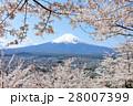 富士山を彩る春の桜 28007399