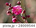 梅の花 28009544