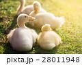 Cute ducklings 28011948