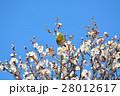 梅の花とメジロ(N) 28012617