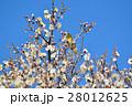 梅の花とメジロ(N) 28012625