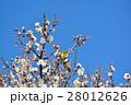 梅の花とメジロ(N) 28012626