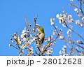 梅の花とメジロ(N) 28012628