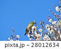 梅の花とメジロ(N) 28012634