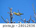 梅の花とメジロ(N) 28012636