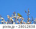梅の花とメジロ(N) 28012638