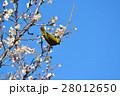 梅の花とメジロ(N) 28012650