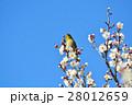 梅の花とメジロ(N) 28012659