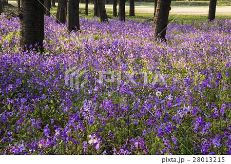 オオアラセイトウ ショカッサイ ムラサキハナナ ハナダイコン アブラナ科 外来種 紫色 春 28013215