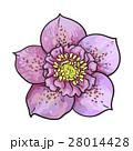 花 ヘレボラス ヘレボルスのイラスト 28014428