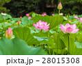 蓮の花 28015308