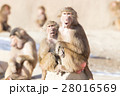 Macaque monkey resting 28016569