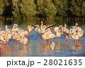 オオフラミンゴ 群れ フラミンゴの写真 28021635