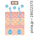 肌 乾燥 断面のイラスト 28022373