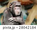 動物 チンパンジー 類人猿の写真 28042184