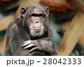 動物 チンパンジー 類人猿の写真 28042333