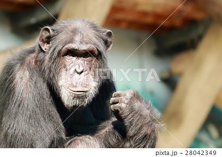 チンパンジーの顔 28042349