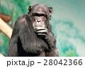 動物 チンパンジー 類人猿の写真 28042366