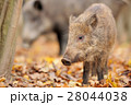 Young wild boar in forest 28044038