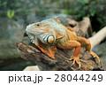 イグアナ とかげ トカゲの写真 28044249
