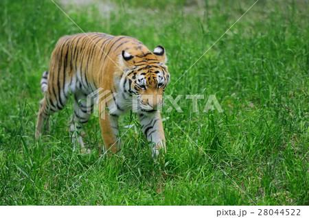 Tigerの写真素材 [28044522] - PIXTA