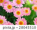 ピンクのマーガレット 28045510