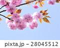 ボタン桜 28045512