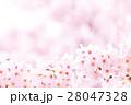 桜 そめいよしの さくら クローズアップ 接写 コピースペース 28047328
