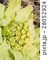 フキノトウ 蕗の薹 蕗の写真 28052924