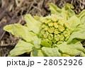 フキノトウ 蕗の薹 蕗の写真 28052926