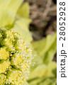 フキノトウ 蕗の薹 蕗の写真 28052928