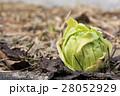 フキノトウ 蕗の薹 蕗の写真 28052929