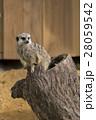 ミーアキャット 動物園 哺乳類の写真 28059542