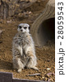 ミーアキャット 動物園 哺乳類の写真 28059543