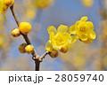 ロウバイの花 28059740