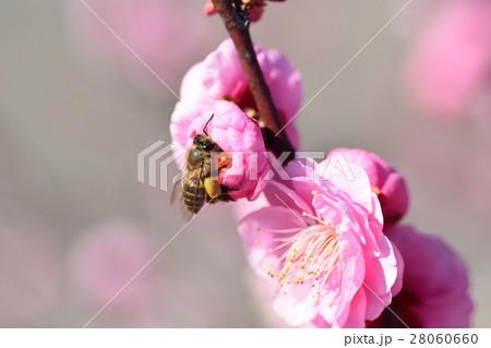 ミツバチと梅の花(紅梅) 梅の花とミツバチ みつばち 蜜蜂 ミツバチ 梅の花 春 28060660