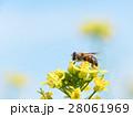 ミツバチと菜の花 28061969
