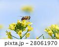 ミツバチと菜の花 28061970